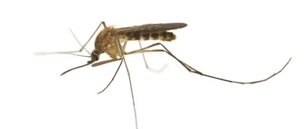 West Nile Virus Found in Mosquitos within Cathedral City